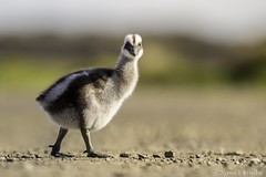 Cape barren gosling (Jims Wildlife) Tags: capebarrengoose gosling bird australia cereopsisnovaehollandiae
