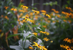 DSC09224 (Old Lenses New Camera) Tags: sony a7r foth fothderby 50mm f25 plants garden flowers blackeyedsusan