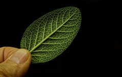 Sage (ricko) Tags: sage herb hand fingers spice plant