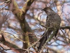 Little Wattle Bird (glendamaree) Tags: wattlebird bird australia australianbird nature nikon