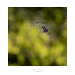 À travers la serrure (MaxSerres) Tags: mammifère lièvredeurope aude photo2018