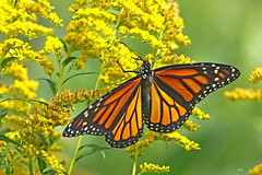 Monarque / Monarch (alainmaire71) Tags: butterfly danainae danausplexippus monarque monarch jaune yellow nature quebec canada