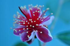 Feijoa flower (Acca Sellowiana) (natureloving) Tags: feijoaflower accasellowiana nature macro flower bokeh natureloving flowersinfrance flowersineurope fleursenfrance nikon d90 afsvrmicronikkor105mmf28gifed