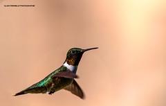 Colibri à gorge rubis,Ruby-throated hummingbird, Archilochus colubris, (beluga 7) Tags: colibriàgorgerubis rubythroatedhummingbird archilochuscolubris birdwatcher