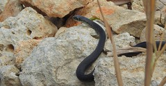Western Whipsnake (Hierophis viridiflavus) (Nick Dobbs) Tags: western whipsnake hierophis viridiflavus snake reptile malta animal macro