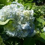Au jardin, Hortensia macrophylla (Hydrangea ×serratophylla), Bosdarros, Béarn, Pyrénées Atlantiques, Nouvelle-Aquitaine, France. thumbnail