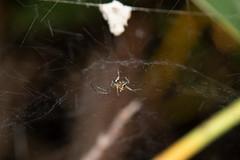 Basilica Orb Weaver, Mecynogea lemniscata-7 (Rory Witte) Tags: araneidae maryland mecynogealemniscata orbweaver spider