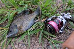 新川 ブルーギル (GenJapan1986) Tags: 2018 ブルーギル 土浦市 新川 茨城県 釣り 日本 japan ibaraki fujifilmx70 fishing fish