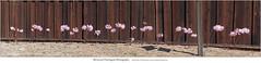 Fence and Naked Ladies (Sherwood Harrington) Tags: nakedladylily amaryllisbelladonna california santacruzcounty santacruzmountains sanlorenzovalley pink blossoms redwood fence benlomond