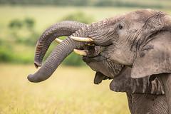 Elephants in the Masai Mara (ラルフ - Ralf RKLFoto) Tags: kenia kenya masaimara narok natur safari tiere animals wildlife elephant elefanten wilderness