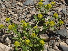 yellow peppercress, Lepidium flavum (Jim Morefield) Tags: bishop california unitedstates brassicaceae mustardfamily lepidium lepidiumflavum angiosperm dicot plant flowers flower blossom bloom wfgna flora wildflower wildflowers cnpsok yellowpeppercress annual annuals desert northamerica monocounty whitemountains coldwatercanyon greatbasin owensvalley chalfantvalley eswild april spring olympus evolt e510 olympuse510 jdm20170264 taxonomy:family=brassicaceae taxonomy:genus=lepidium taxonomy:binomial=lepidiumflavum taxonomy:common=yellowpeppercress geo:alt=1405m yellow 4petals longcluster