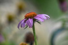 Echinacea (Torok_Bea) Tags: echinacea flowers sigma nikon nikond7200 d7200 macroflower kasvirág garden gardenflower