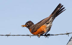 American Robin (Lynn Tweedie) Tags: feathers canon insect tail 7dmarkii missouri sigma150600mmf563dgoshsm wing bird leessummitmunicipalairport sky beak eos eye ngc animal american robin