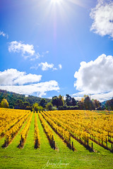 Piccadilly Vineyard, Adelaide Hills (spotandshoot.com) Tags: adelaide australia mountlofty shiraz southaustralia valley agriculture autumn cabernet color colorful colours country countryside crop cultivated drink fall farm farming farmland field foliage fruit grape growth harvest hills industry landscape leaf making nature organic outdoors plant ripe row rural scene scenic season tourism travel vibrant vine vineyard wine winery yellow sa