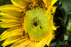 Sunflower (wanderinghaggis) Tags: insect scotland field outdoor scene plant image sony a6000 bee ladybird agriculture farming sunflower macro bright yellow