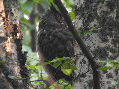 Great-horned Owl Reifel Aug 13, 2018 (EastLadner) Tags: dncb 20180813 tfn reifel rogers