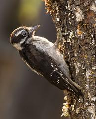 morning snack (Ripley's fish planet) Tags: downywoodpecker woodpecker morningsun morningsnack nikond500 nikon200500