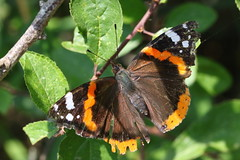 Red Admiral butterfly at Titchfield Canal, Hampshire, UK (Art-G) Tags: insect butterfly redadmiral titchfieldcanal hampshire uk macro titchfield meonshore canon eos7dmkii tamron90mmucvsd