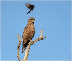 Brown-Snake-Eagle__AM07581 (SueM59) Tags: birds brownsnakeeagle knp may2018 raptors