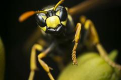Wespe ((-:Stefan:-)) Tags: tier animal insekt wald garten gelb grün klein makro macro