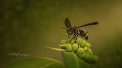 Macro (Anup Devaraj Clicks) Tags: macrophotography macro insects nikon nikond3200 bugs