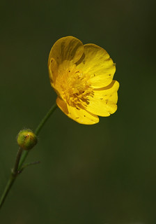 Meadow Buttercup - Ranunculus acris