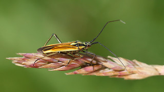 Meadow Plant bug - Leptopterna dolabrata