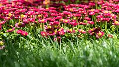 Gänseblümchen - Daisy (Peter Goll thx for +7.000.000 views) Tags: 2018 sachsen zwickau urlaub erlangen germany daisy gänseblümchen flower red rot