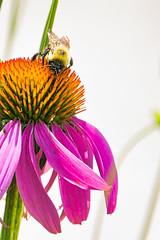 Bee and Bud #3 (KWPashuk) Tags: nikon d7200 tamron tamron18400mm lightroom luminar luminar2018 kwpashuk kevinpashuk bee insect bud flower echinacea garden outdoors nature wildlife royalbotanicalgardens burlington ontario canada