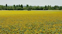 Le temps des tournesols en Charente-Maritime 😉 (cathyk06) Tags: fleurs flower tournesols champ paysages