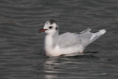 Little Gull-114 (davidgardiner8) Tags: birds brooklandslake gulls littlegull westsussex worthing