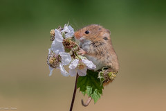 Harvest Mouse (Linda Martin Photography) Tags: newforest hampshire micromysminutus dogrose harvestmouse captivelight naturethroughthelens coth coth5 ngc npc