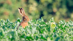 Hare in a cabbage field. (Tony Smith Photo's) Tags: brown farm field green mammal natural nature portrait vegetation wild wildlife animal bigears britishwildlife brownfur bunny countryside crops cute ears european europeanhare farmland form fur furry greenbackground greenery hairy hare hareears landscape lepus lepuseuropaeus leveret madmarchhare morning native outdoor plants rabbit rabbits resting rural sitting wildanimal wildhare