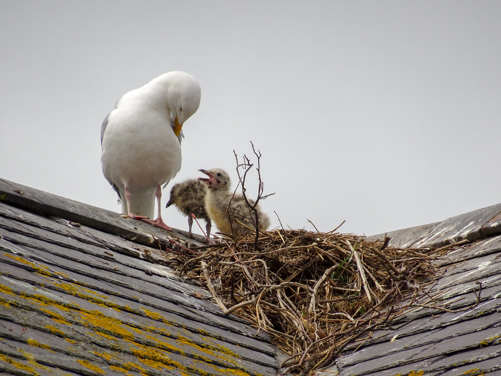 The World's Best Photos of nest and seagull - Flickr Hive Mind