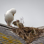 Herring-gull nest, 2018 Jun 08 -- photo 4 thumbnail