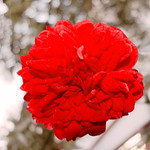 Rosenrot / Rose-Red / Rosa Roja thumbnail