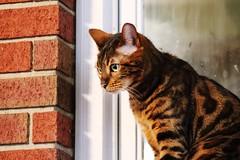(mackenzie.ts) Tags: ears pretty orangecat orange kitten ledge window bricks greeneyes tiger stripes pet cat