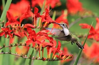 Ruby-throated Hummingbird female / Colibri à gorge rubis femelle