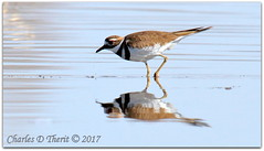 Reflecting (ctofcsco) Tags: 7d canon colorado explore northamerica usa water bird plover killdeer pluvierkildirfrench chorlitejoculirrojospanish eos ef400mm f28l ii usm 20x canoneos7d ef400mmf28liiusm20x f11 800mm 11000s iso320 extender teleconverter supertelephoto telephoto esplora explored renown pretty photo pic digital image 7dclassic 7dmark1 7dmarki nature wildlife 2x