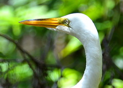 Great White Heron (npbiffar) Tags: outdoor grass swamp water bird heron white animal river npbiffar 70300mm d7100 nikon