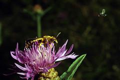 Angriff der Winzlinge (JS Highspeed Photography) Tags: furchenbiene wespe biene hinghspeed kurzzeit angriff