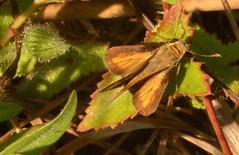 Hylephila phyleus phyleus (Drury, 1773) Hesperiidae (robertoguerra10) Tags: hesperiidae hylephyla phyleus