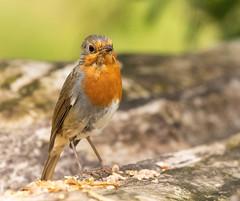 Young Robin at Leighton Moss RSPB Reserve (kenemm99) Tags: rspb 7dmk2 lancashire birds robin canon summer leightonmoss kenmcgrath