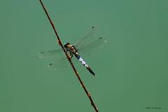 Libellule (jpto_55) Tags: insecte odonate libellule proxi xe1 fuji fujifilm fuji55200f3548rlmois hautegaronne france