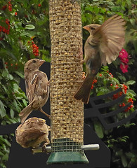 Sparrows:  13.8.18. (VolVal) Tags: dorset bournemouth boscombe garden birds feeder housesparrows august