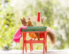 red squirrel is sewing at a table (Geert Weggen) Tags: agriculturalmachinery ancient animal antique artandcraft ballofwool businessfinanceandindustry collection cotton cottonmill craft domesticlife drop equipment fun horizontal industry knitting knittingneedle lifestyles loom nature obsolete photography rain rebellion retrostyle sewing sewingneedle spinning spinningwheel squirrel sweden technology threadsewingitem water weaving wet wheel woodmaterial worktool machine cloth dress bispgården jämtland geert geertweggen ragunda