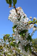 DAV_0659 Cherry blossoms (David Barrio López) Tags: cerezeras cerezos cerezosenflor cherryblossoms cherry blossoms bolea hoyadehuesca planadeuesca huesca altoaragon aragon españa spain nikon d610 nikond610 fullframe nikkor2470mm 2470mm afsnikkor2470mmf28ged davidbarriolópez davidbarrio