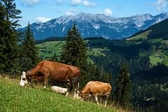 Keatalm - Hochsöll (friedls.mixed.pixels) Tags: keatalm hohesalve hochsöll söll tirol austria landschaft landscape kühe cows tiere animals