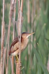 Petit blongios (3) (boisvertvert1) Tags: petitblongios leastbittern michelboisvert 2018 oiseauxduquébec canada québec birds marais canon canon70d
