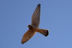 Falke (MyWorldsView) Tags: falke kestrel raubvogel vogel bird nature wildlife raptor greifvogel